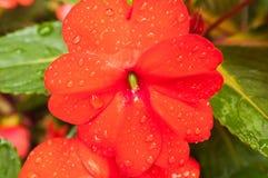 Κινηματογράφηση σε πρώτο πλάνο των σταγόνων βροχής στο λουλούδι Στοκ φωτογραφία με δικαίωμα ελεύθερης χρήσης