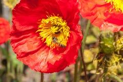 Κινηματογράφηση σε πρώτο πλάνο των φωτεινών κόκκινων παπαρουνών σε ένα κρεβάτι λουλουδιών, με μια μέλισσα μελιού στοκ φωτογραφία