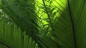 Κινηματογράφηση σε πρώτο πλάνο των φύλλων και του αέρα Cycads στο φυσικό φως φιλμ μικρού μήκους