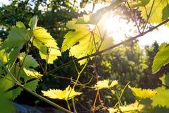 Κινηματογράφηση σε πρώτο πλάνο των φύλλων σταφυλιών με την ηλιοφάνεια στα φύλλα Στοκ Εικόνες