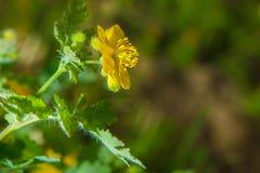 Κινηματογράφηση σε πρώτο πλάνο των χρυσών λουλουδιών στοκ εικόνες