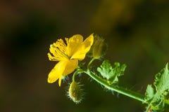 Κινηματογράφηση σε πρώτο πλάνο των χρυσών λουλουδιών στοκ φωτογραφία
