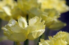 Κινηματογράφηση σε πρώτο πλάνο των όμορφων κίτρινων τουλιπών στον ήλιο την ηλιόλουστη ημέρα της άνοιξη Στοκ φωτογραφία με δικαίωμα ελεύθερης χρήσης
