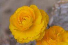 Κινηματογράφηση σε πρώτο πλάνο των όμορφων κίτρινων τριαντάφυλλων Στοκ Φωτογραφίες