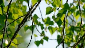 Κινηματογράφηση σε πρώτο πλάνο των όμορφων κλάδων άνοιξη του δέντρου σημύδων με τα πράσινα φύλλα Πραγματικός - χρονικό 4K UHD μήκ απόθεμα βίντεο