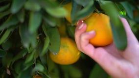 Κινηματογράφηση σε πρώτο πλάνο των juicy νόστιμων πορτοκαλιών που κρεμούν σε ένα πορτοκαλί δέντρο Θηλυκό χέρι που προσπαθεί να επ απόθεμα βίντεο