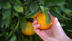 Κινηματογράφηση σε πρώτο πλάνο των juicy νόστιμων πορτοκαλιών που κρεμούν σε ένα πορτοκαλί δέντρο Το θηλυκό μαδά με το χέρι την κ απόθεμα βίντεο