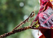 Κινηματογράφηση σε πρώτο πλάνο των mantis μιας επίκλησης που κάθονται σε έναν κλάδο στοκ φωτογραφίες