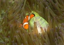 Κινηματογράφηση σε πρώτο πλάνο των ocellaris clownfish, των ocellaris Aphiprion ή του ψεύτικου κλόουν anemonefish μεταξύ των δηλη Στοκ Εικόνες