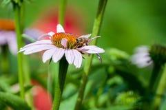 Κινηματογράφηση σε πρώτο πλάνο των wildflowers που μοιάζουν με τη μαργαρίτα που ανθίζει στο νέκταρ κατανάλωσης λιβαδιών και μελισ στοκ εικόνες