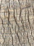 Κινηματογράφηση σε πρώτο πλάνο φλοιών δέντρων ενός φοίνικα στοκ εικόνες
