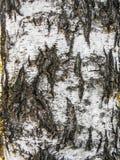 Κινηματογράφηση σε πρώτο πλάνο φυσικού υποβάθρου σύστασης φλοιών σημύδων Ξύλο δέντρων σημύδων στοκ φωτογραφίες με δικαίωμα ελεύθερης χρήσης