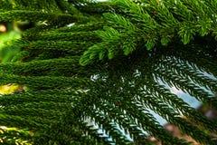Κινηματογράφηση σε πρώτο πλάνο φύσης εγκαταστάσεων δέντρων Araucariaceae Στοκ φωτογραφίες με δικαίωμα ελεύθερης χρήσης