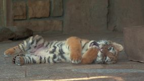 Κινηματογράφηση σε πρώτο πλάνο χαριτωμένο μικρό cub τιγρών μπλε ματιών στο ζωολογικό κήπο φιλμ μικρού μήκους