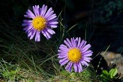 Κινηματογράφηση σε πρώτο πλάνο asters λουλουδιών στοκ εικόνες