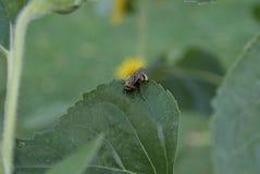 Κινηματογράφηση σε πρώτο πλάνο bumblebee με τη γύρη στη γούνα στο φύλλο ενός ηλίανθου στοκ εικόνες