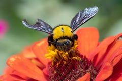 Κινηματογράφηση σε πρώτο πλάνο Bumblebee που συλλέγει το νέκταρ από ένα λουλούδι violacea της Zinnia στοκ φωτογραφία