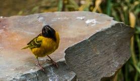 Κινηματογράφηση σε πρώτο πλάνο finch του χωριού υφαντών, δημοφιλές τροπικό πουλί από την Αφρική, ζωηρόχρωμο κίτρινο πουλί με ένα  στοκ φωτογραφίες