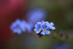 Κινηματογράφηση σε πρώτο πλάνο forget-me-not του λουλουδιού στο μαλακό φως Στοκ φωτογραφίες με δικαίωμα ελεύθερης χρήσης