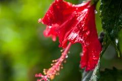 Κινηματογράφηση σε πρώτο πλάνο hibiscus του λουλουδιού στο πράσινο υπόβαθρο στοκ φωτογραφία με δικαίωμα ελεύθερης χρήσης