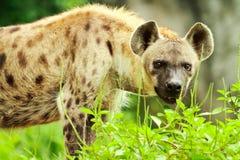 Κινηματογράφηση σε πρώτο πλάνο Hyena Στοκ εικόνες με δικαίωμα ελεύθερης χρήσης