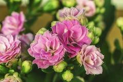 Κινηματογράφηση σε πρώτο πλάνο Kalanchoe λουλουδιών Το γένος των succulent εγκαταστάσεων Στοκ Εικόνες