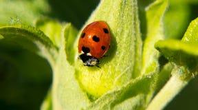 Κινηματογράφηση σε πρώτο πλάνο Ladybug Στοκ φωτογραφία με δικαίωμα ελεύθερης χρήσης