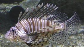 Κινηματογράφηση σε πρώτο πλάνο Lionfish απόθεμα βίντεο