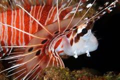 Κινηματογράφηση σε πρώτο πλάνο Lionfish Spotfin στοκ εικόνες με δικαίωμα ελεύθερης χρήσης