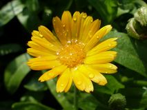 Κινηματογράφηση σε πρώτο πλάνο Marigold στο λουλούδι αμέσως μετά από τη θερινή βροχή Στοκ Εικόνες