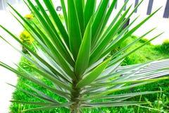 Κινηματογράφηση σε πρώτο πλάνο palmetto πριονιών εγκαταστάσεων Πράσινος φοίνικας εξωτικός στοκ φωτογραφία με δικαίωμα ελεύθερης χρήσης