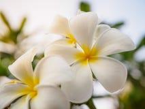 Κινηματογράφηση σε πρώτο πλάνο Plumeria στο δέντρο plumeria Έννοια λουλουδιών Στοκ Φωτογραφίες