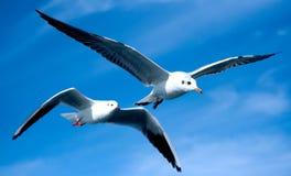 Κινηματογράφηση σε πρώτο πλάνο seagulls Στοκ Φωτογραφίες