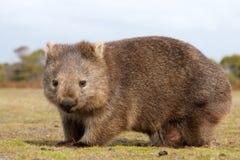 Κινηματογράφηση σε πρώτο πλάνο Wombat Στοκ Φωτογραφία