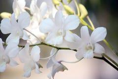 Κινηματογράφηση σε πρώτο πλάνο άσπρα orchids στην ελαφριά ανασκόπηση Στοκ εικόνες με δικαίωμα ελεύθερης χρήσης