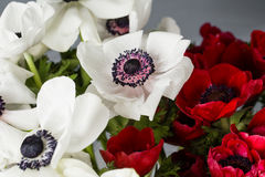 Κινηματογράφηση σε πρώτο πλάνο άσπρες και κόκκινες παπαρούνες anemones στο βάζο Πολλά λουλούδια - γκρίζο υπόβαθρο χειμερινό λουλο Στοκ εικόνα με δικαίωμα ελεύθερης χρήσης