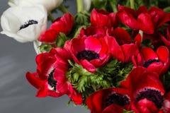 Κινηματογράφηση σε πρώτο πλάνο άσπρες και κόκκινες παπαρούνες anemones στο βάζο Πολλά λουλούδια - γκρίζο υπόβαθρο χειμερινό λουλο Στοκ εικόνες με δικαίωμα ελεύθερης χρήσης