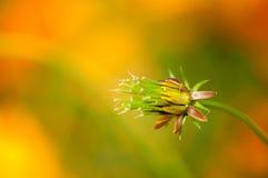 Κινηματογράφηση σε πρώτο πλάνο ένα λουλούδι κόσμου Στοκ Φωτογραφία
