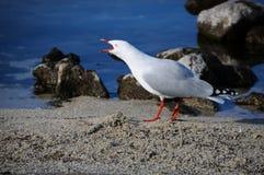 Κινηματογράφηση σε πρώτο πλάνο ένα όμορφο πορτρέτο seagull στη θέση παραδείσου, Νέα Ζηλανδία Στοκ Φωτογραφία