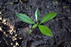 Κινηματογράφηση σε πρώτο πλάνο έννοιας του νέου δέντρου δενδρυλλίων στον τροπικό κήπο Φρέσκα πράσινα φύλλα από τον οφθαλμό στοκ φωτογραφίες με δικαίωμα ελεύθερης χρήσης