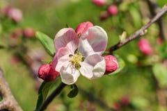 Κινηματογράφηση σε πρώτο πλάνο δέντρων μηλιάς άνοιξη Στοκ φωτογραφία με δικαίωμα ελεύθερης χρήσης