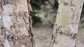 Κινηματογράφηση σε πρώτο πλάνο δέντρων σημύδων φιλμ μικρού μήκους