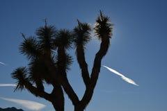 Κινηματογράφηση σε πρώτο πλάνο δέντρων του Joshua Στοκ Φωτογραφίες