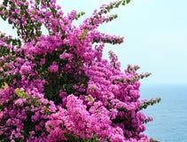 Κινηματογράφηση σε πρώτο πλάνο δέντρων Bougainvillea Στοκ Φωτογραφία