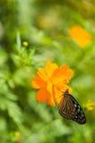 Κινηματογράφηση σε πρώτο πλάνο λίγη πεταλούδα στο κίτρινο άνθος λουλουδιών Στοκ φωτογραφία με δικαίωμα ελεύθερης χρήσης
