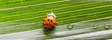 Κινηματογράφηση σε πρώτο πλάνο λίγο ladybug στο πράσινο φύλλο με τις πτώσεις νερού Στοκ φωτογραφία με δικαίωμα ελεύθερης χρήσης