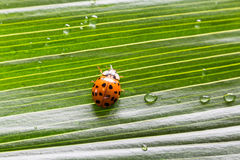 Κινηματογράφηση σε πρώτο πλάνο λίγο ladybug στο φύλλο πράσινων φυτών με τις πτώσεις νερού Στοκ εικόνες με δικαίωμα ελεύθερης χρήσης