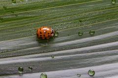 Κινηματογράφηση σε πρώτο πλάνο λίγο ladybug στο φύλλο πράσινων φυτών με τις πτώσεις νερού Στοκ φωτογραφία με δικαίωμα ελεύθερης χρήσης