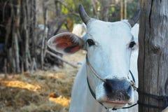 Κινηματογράφηση σε πρώτο πλάνο αγελάδων Wite Στοκ εικόνες με δικαίωμα ελεύθερης χρήσης