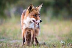Κινηματογράφηση σε πρώτο πλάνο αλεπούδων Στοκ εικόνες με δικαίωμα ελεύθερης χρήσης
